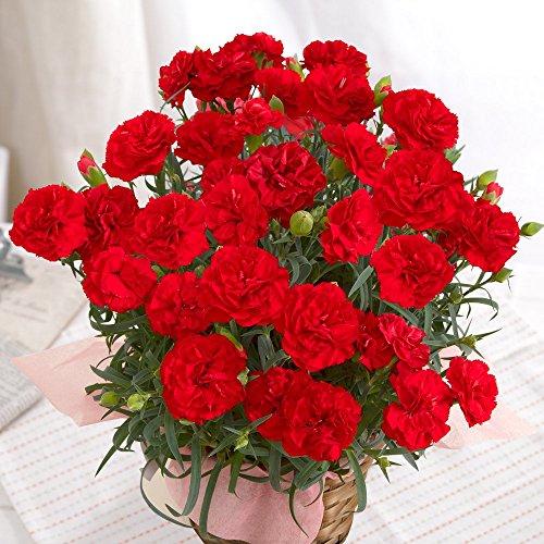 カーネーション 花鉢 レッド 赤 5号鉢 母の日 花 フラワーギフト 母の日ギフト プレゼント