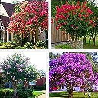 50pcs / bagライラックの木の植物庭園多年草芳香植物花の植物* Semillas盆栽木フローレス盆栽日本の花:多色
