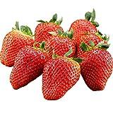 希少品種 大粒いちご アイベリー 約500g 苺 イチゴ 贈答用 ギフト