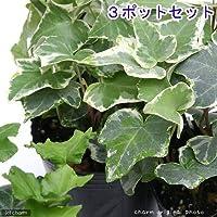 charm(チャーム) (観葉植物)ヘデラ(アイビー)(品種おまかせ) 3号(3ポットセット)