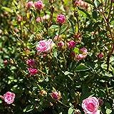 姫バラ:ワンダーファイブ3.5号ポット 3株セット[直径2cmの可憐な花!四季咲き性]
