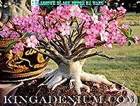 有機種子だけでなく、植物:アデニウムアラビア「PNW」DESERTはFRESH SEEDS上昇しました。フェリーでGREAT盆栽STYLE