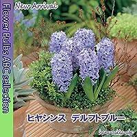 ◇【甘い香り】ヒヤシンス・デルフトブルー・2球【秋植え球根】【ブルー系ヒヤシンス】