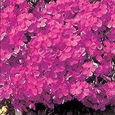 芝桜(シバザクラ):ダニエルクッション3号ポット4株セット*[きれいなピンク色の大輪系]