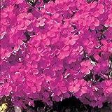 芝桜(シバザクラ):ダニエルクッション 24株セット ノーブランド品