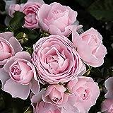 バラ苗 ハンスゲーネバイン 国産新苗4号ポリ鉢 フロリバンダ(FL) 四季咲き中輪 ピンク系
