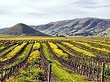 Vineyards in San Luis Obispo、カリフォルニア。–キャンバスプリント(24x 16インチ、フレームなし)