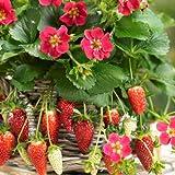 【ノーブランド品】イチゴ:四季なりいちご紅茜3号ポット4株セット[春~秋まで収穫できる][MPS]