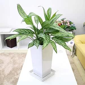 【ブルーミングスケープ】 観葉植物 空気を綺麗にアグラオネマ シルバークィーン スクエアホワイト陶器鉢