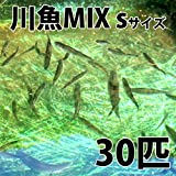 【生体】川魚MIX Sサイズ 約2cm~6cm前後 30匹 エサ用 生餌 川魚 淡水魚