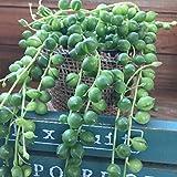 グリーンネックレス 多肉植物