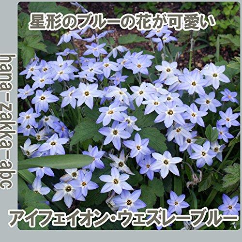 ◆ 【可憐な姿】 アイフェイオン ヴェズレーブルー 【オランダからの花便り】【秋植え球根】
