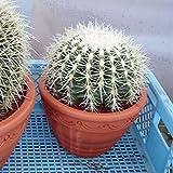 サボテンの王様:金シャチ[キンシャチ・金鯱]8号素焼き鉢植え ノーブランド品