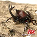 (昆虫)国産カブトムシ 幼虫(2~3令)(3匹) 本州・四国限定[生体]