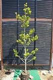 クロガネモチ樹高1.8m 日陰にも強い常緑樹♪目隠しなどにもOK☆