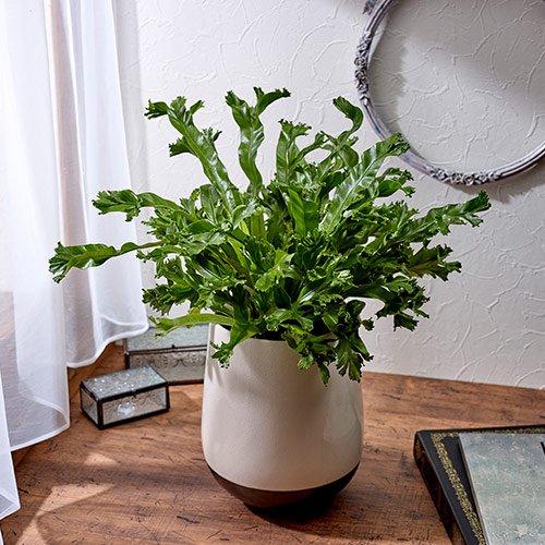 観葉植物「アスプレニウム・レズリー」 インテリアグリーン 日比谷花壇