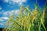 【精米】北海道産 無洗米 ゆめぴりか 5kg 平成29年産