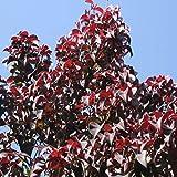 常緑ヤマボウシ:ウインターレッドペイジ根巻き 樹高1.2~1.4m