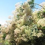 スモークツリー:ホワイトボール樹高1m根巻きまたはポット[白花の煙の木]