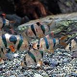 (熱帯魚)スマトラ(約2cm)<6匹> [生体]
