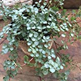 ピレア グラウカ  観葉植物