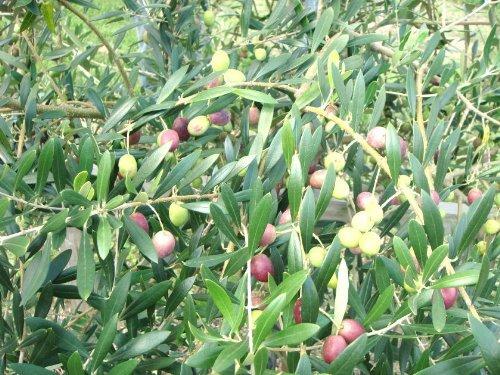 オリーブ ネバディロブランコ 樹高H:1500mm
