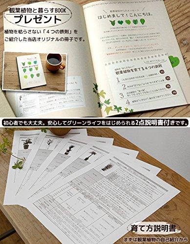 【ツートーン鉢カバー付】サンスベリア・ローレンティー 6号鉢