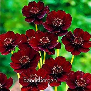 プロモーション!100個/バッグブラック・マジックの種、atrosanguineus、チョコレートコスモス、真剣RARE花の種