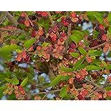 マルベリー(桑):シャルロットリュス[四季成り豊産種・旧名エンドレスブーケ]3.5~4号ポット