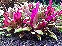 アルテルナンテラレインキー ミニ(3本)◆赤色系 水草 丈夫◆