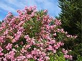 【1年間枯れ保証】【夏に花が咲く木】キョウチクトウ/プチサーモン 0.5m