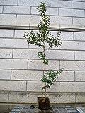クロガネモチ 樹高1.8~2.0m前後 (根鉢含まず)