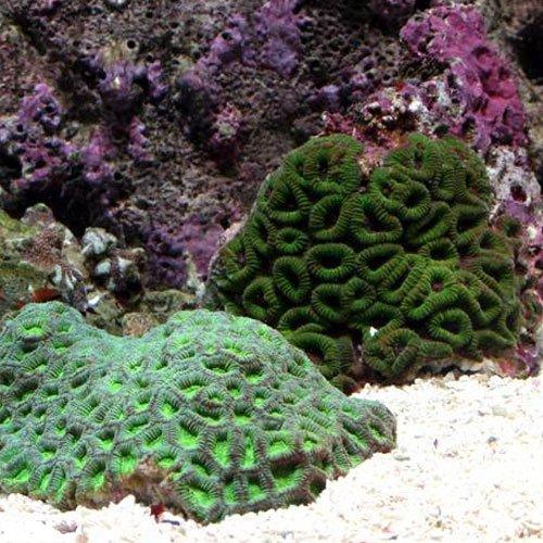 (海水魚 サンゴ)キクメイシ グリーン Sサイズ(1個) 本州・四国限定[生体]
