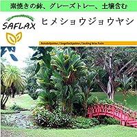 SAFLAX - Garden to Go - ヒメショウジョウヤシ - 10 個の種。- 素焼きの鉢、グレーズトレー、鉢植え用土壌、肥料を含みます - Cyrtostachys renda