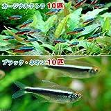 charm(チャーム) (熱帯魚)カージナルテトラ(ワイルド)(10匹) + ブラック・ネオン(10匹) 【生体】
