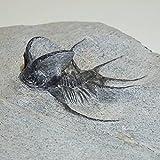 三葉虫(セラタルゲス・ceratarges)化石 約185g