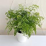 アジアンタム:フラグランス5号鉢植え[フレグランス 涼し気な葉を茂らせるシダの仲間][観葉植物] ノーブランド品