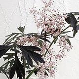 西洋ニワトコ:ニグラ ブラックレース6号ポット[チョコレート色の葉がアメリカで大人気!] ノーブランド品