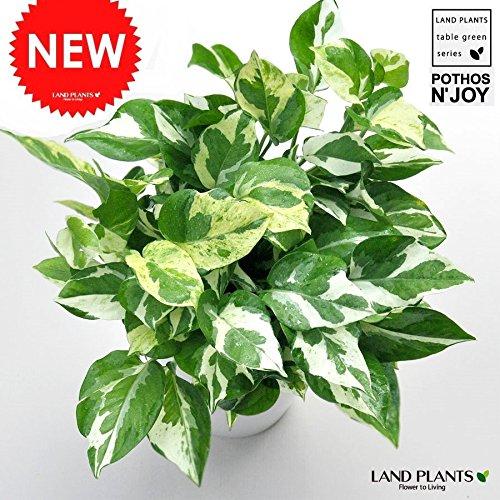 LAND PLANTS 【観葉植物】 ポトス・エンジョイ ( 5号サイズ) B06WWNCS31 1枚目