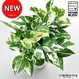 LAND PLANTS 【観葉植物】 ポトス・エンジョイ ( 5号サイズ)