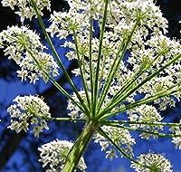 PLATのFIRM:3000+女王レース種子〜装飾庭の種〜ピュアアンヌ