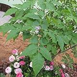 [シンボルツリー]アオダモ(コバノトネリコ)株立ち樹高1.8~2m根巻き ノーブランド品