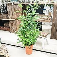 シマトネリコ 苗 庭木 株立ち トネリコ 観葉植物 中型 インテリア 丈夫