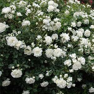 シュラブローズ:ホワイトメイディランド新苗[グランドカバーからフェンス仕立てまで幅広く使える] ノーブランド品