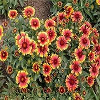 マルチカラー:セール!100種子、美しいインドの毛布の花の種Gaillardia Aristat、耐干性、簡単に成長する