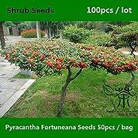^^非常に人気のあるPyracantha Fortuneana ^^^^ 100冊、家族Rosaceae Pyracantha Crenatoserrata ^^^^、広く栽培されたHuo Ji ^^^^
