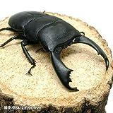 (昆虫)スラウェシヒラタクワガタ スラウェシ パロロ産 成虫(WD) 80~84mm(1ペア) 外国産クワガタ [生体]