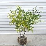 庭木:白南天 H:約50cm