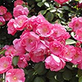 つるバラ:アンジェラ大苗[小中輪八重カップの超多花種 四季咲き~返り咲き] ノーブランド品