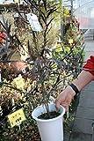 【庭木】 ユーカリ ブラックテイル 5号鉢  【送料込価格】